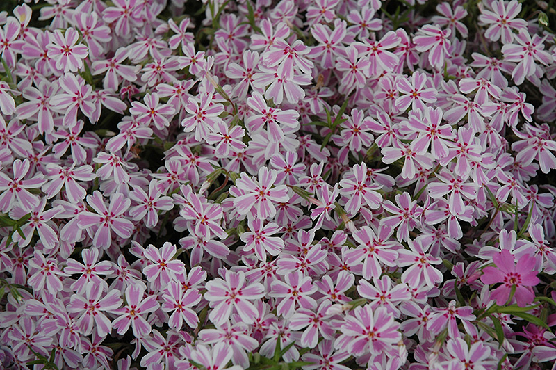Candy Stripe Moss Phlox (Phlox subulata 'Candy Stripe') at Applewood Nursery