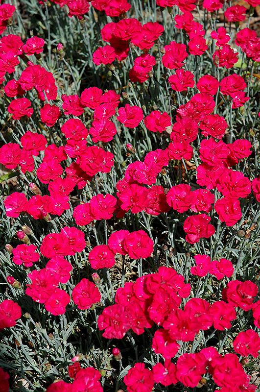 Frosty Fire Pinks (Dianthus 'Frosty Fire') at Applewood Nursery