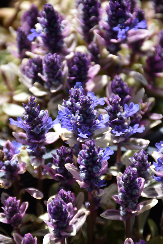 Dixie Chip Bugleweed (Ajuga 'Dixie Chip') at Applewood Nursery