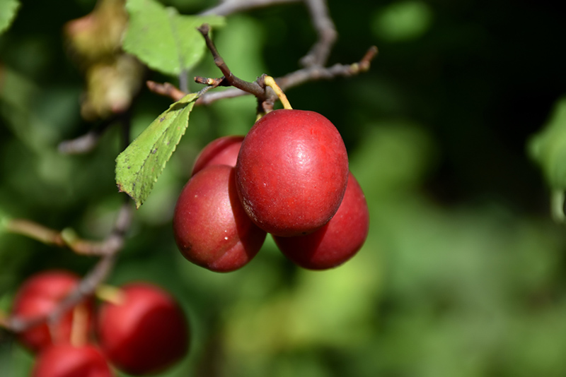 Toka Plum Prunus At Lewood Nursery Fruit