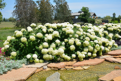 Incrediball® Hydrangea (Hydrangea arborescens 'Abetwo') at Applewood Nursery